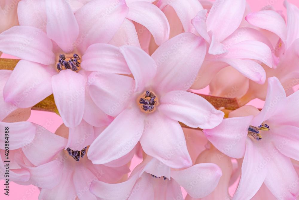 Fototapeta Pink hyacinth flower.  Spring hyacinth blossom.