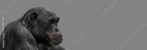 Canvas Banner with a portrait of happy smiling Chimpanzee, closeup, details with copy space and solid background