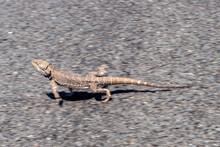 Central Bearded Dragon Running Across Road