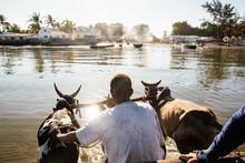 Men Crossing Water In Cart Pulled By Zebu, Toliara, Madagascar, Africa