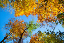 Autumn Treetops And Canopy Against Blue Sky, Low Angle View