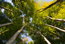 Green Treetops And Canopy, Low Angle View