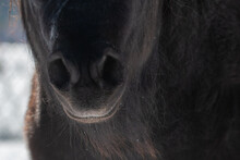 The Snout Of A Black, Red Chestnut, Colour Horse's Mouth. There Are Snow And Ice On The Face. Long Whiskers And Hairs Are Wet On The Animal. The Large Domestic Animal Has A Brown Bridle On Its Head.