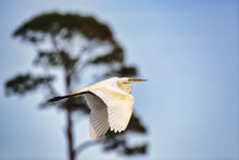 A Great Egret In Flight With A Blurry Tree In The Background.