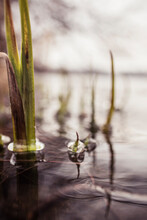 Ripples, Bubbles And Water Plants On Lake Surface, Shallow Focus Surface Level View