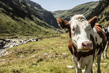 Cattle In Mountain Valley, Bad Hofgastein, Salzburg, Austria