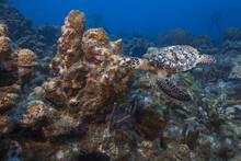 Hawksbill Turtle Glides Effortlessly Through Reef, Curacao