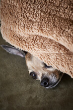 Chihuahua Resting Underneath Blanket On Couch