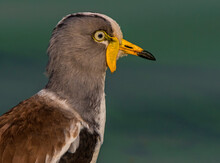 White-crowned Lapwing, Close Up Side View, Kruger National Park, South Africa
