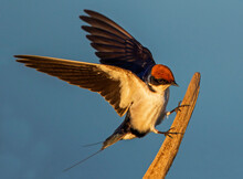 Wire-tailed Swallow Landing On Fencepost, Side View, Kruger National Park, South Africa