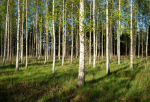 Field Of Birch Trees, Tingstäde, Gotlands Lan, Sweden