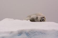 Crabeater Seal (Lobodon Carcinophaga) Resting On Ice, Portal Point, Antarctica