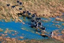 Aerial View Of Plains Zebras (Equus Quagga) Crossing River, Okavango Delta, Botswana