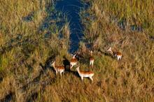 Aerial View Of Red Lechwe (Kobus Leche) At Waterhole, Okavango Delta, Botswana