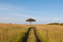 Acacia Tree In Field Landscape, Masai Mara National Reserve, Kenya