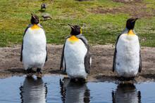 Three King Penguins (Aptenodytes Patagonica) At Water Pond, Falkland Islands
