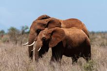 African Elephant (Loxodonta Africana) And Calf, Lualenyi Game Reserve, Kenya