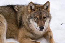 Gray Wolf (Canis Lupus), Captive, Bavarian Forest National Park, Bavaria, Germany
