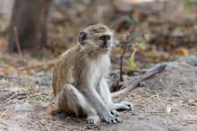 Vervet Monkey (Cercopithecus Aethiops), Chobe National Park, Botswana