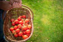 Gardener With Basket Of Ripe Crimson Crush Tomatoes In Organic Vegetable Garden