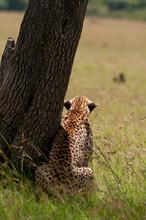 Cheetah (Acynonix Jubatus) Waiting On Prey , Masai Mara National Reserve, Kenya