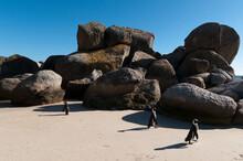Jackass Penguins (Speniscus Demersus), Boulders Beach, Cape Town, South Africa