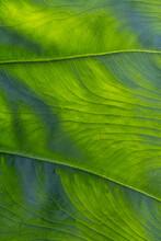 Close Up Of Veins Of Leaf Of Arum Species