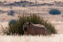 Desert Adapted Black Rhinoceros (Diceros Bicornis),  Palmwag Concession, Damaraland, Namibia