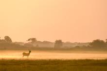 Puku In Mist At Sunrise, Busanga Plains, Kafue National Park, Zambia