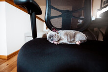 French Bulldog Puppy Sleeping On Office Chair