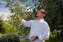 A Man Picking Olives From A Tree