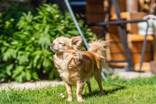 Long-haired Tan Chihuahua Standing On A Lawn In A Garden On Sunny Day.