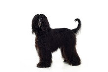 A Black Afghan Hound, Head And Shoulders, Looking Around Head Up And Alert.