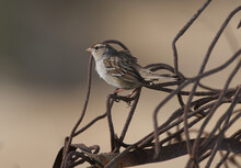 White-crowned Sparrow (Zonotrichia Leucophrys} Perched On Rusted Twisted Scrap Metal, Evening Light, Profile With Feather Detail