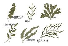 Set Of Edible Seaweeds. Brown Algae Or Phaeophyceae. Fucus, Laminaria, Hiziki, Sargassum, Macrocystis, Winged Kelp, Alaria Esculenta. Sea Vegetables. Vector Flat Illustration, Isolated On White