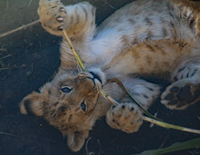 Lion Cub Chewing On A Stick