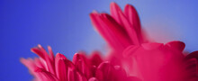 Pink Daisy Flowers On Blue Background, Floral Backdrop And Beauty In Nature Closeup