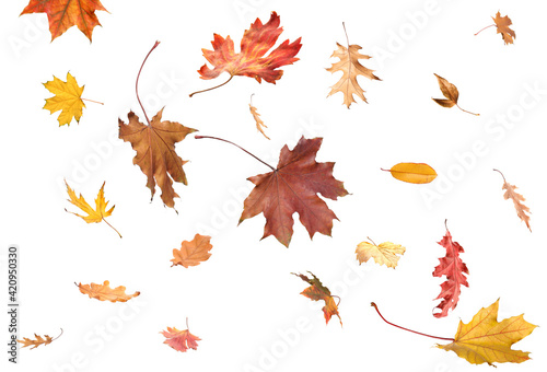 Stampa su Tela Falling autumn leaves on white background