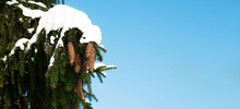 A Spruce Branch With Green Needles With Cones Covered With Snow In Winter Against A Blue Sky. Christmas Composition Snow-covered Fir Branch In The Forest.