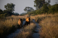 Lions On A Sandy Road In The Early Morning Light