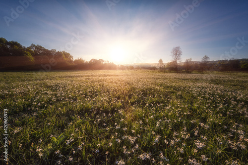Fotografia Beautiful flowering meadow with white wild growing narcissus or daffodil flowers, sunny spring landscape