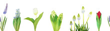 Watercolor Seamless Border With Bulbous Flowers On A White Background: White And Red Tulip, Blue And White Hyacinth, White And Lilac Muscari.