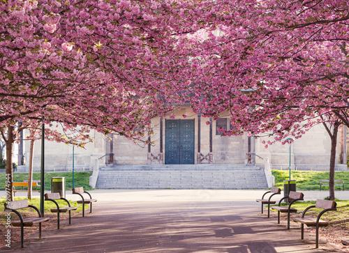 Tela cherry blossom in spring