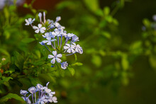 Flowering Plumbago Plants With Purple Flower Clusters And Blurry Green Leaves Background