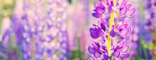 Summer Banner Of Purple Lupins