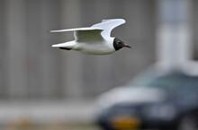 Black-headed Gull // Lachmöwe (Chroicocephalus Ridibundus)