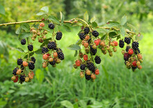Bunches Of  Ripening Hybrid Blackberries On A Natural Background