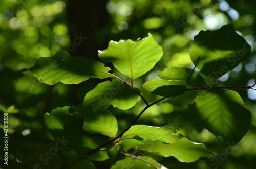 Fototapeta leaves  obraz