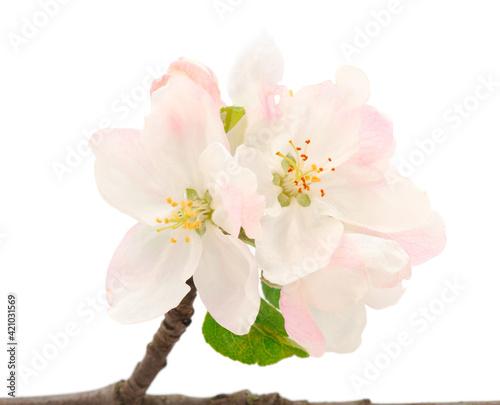 Obraz na plátně Flowering branch of apples.