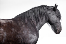 Side View Of A Standing Friesian Horse With Head, Neck, Mane, Shoulder And Chest. Isolated On White